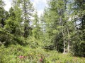Alpiner Lärchen- und Arvenwald