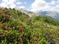 Gebüsche aus Latschenkiefer und Alpenrose