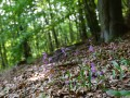 Orchideen-Buchenwald