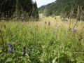 Pfeifengraswiesen