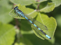 Speer-Azurjungfer Coenagrion hastulatum