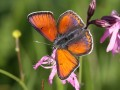 Lilagold-Feuerfalter Lycaena hippothoe