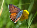 Violetter Feuerfalter Lycaena alciphron