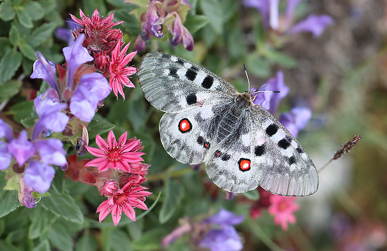 Apollofalter, Apollo (Parnassius apollo)
